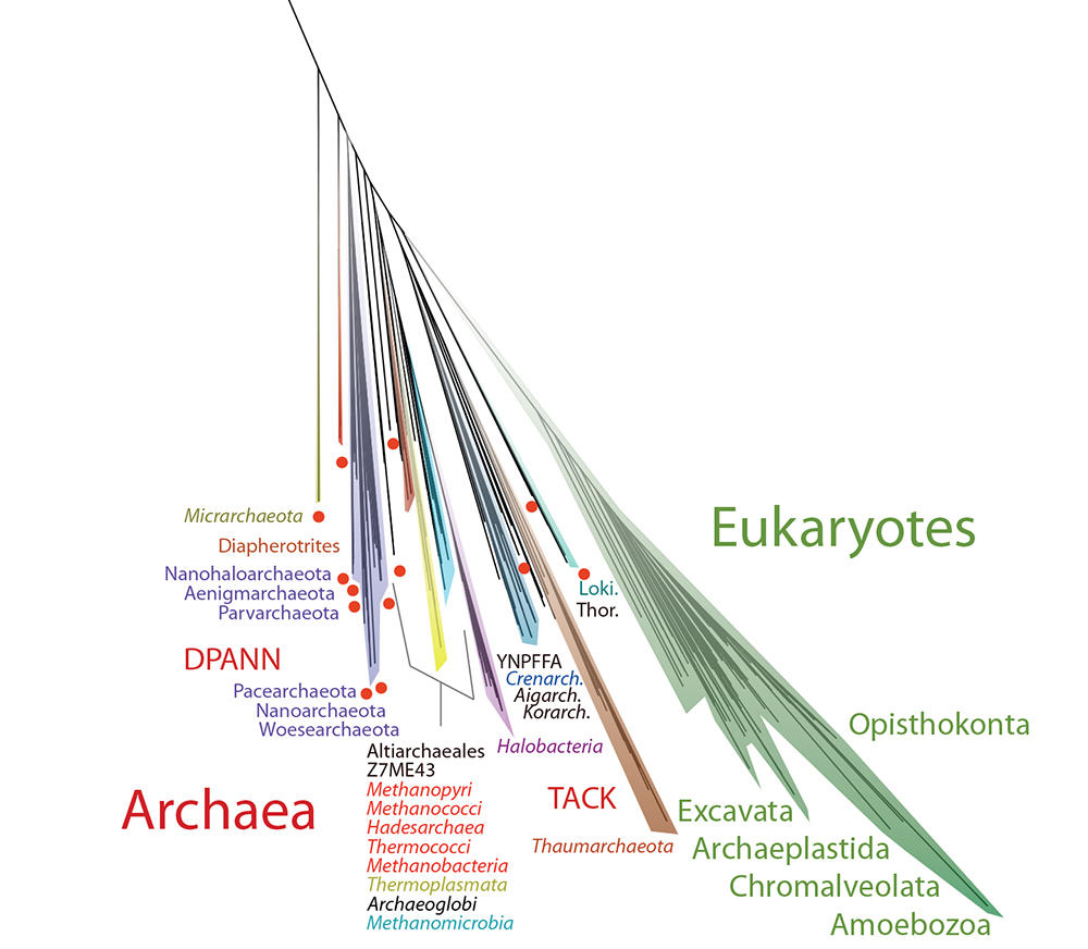 The Archaeal and eukaryotic (animal & plant) branches of the Tree of Life.