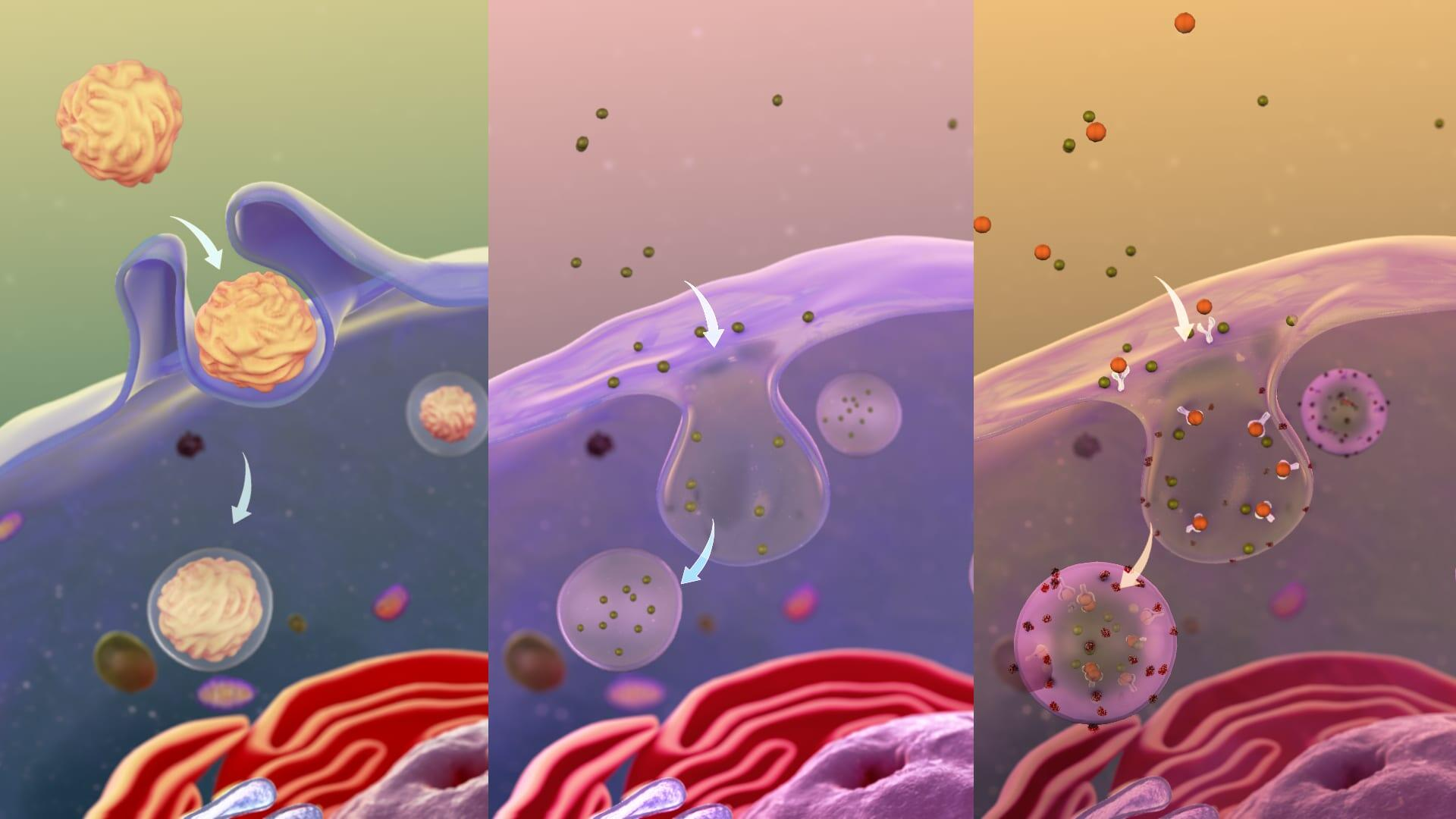 Three common pathways of endocytosis in a cell to internalize outside substances.