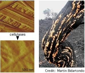 cellulases