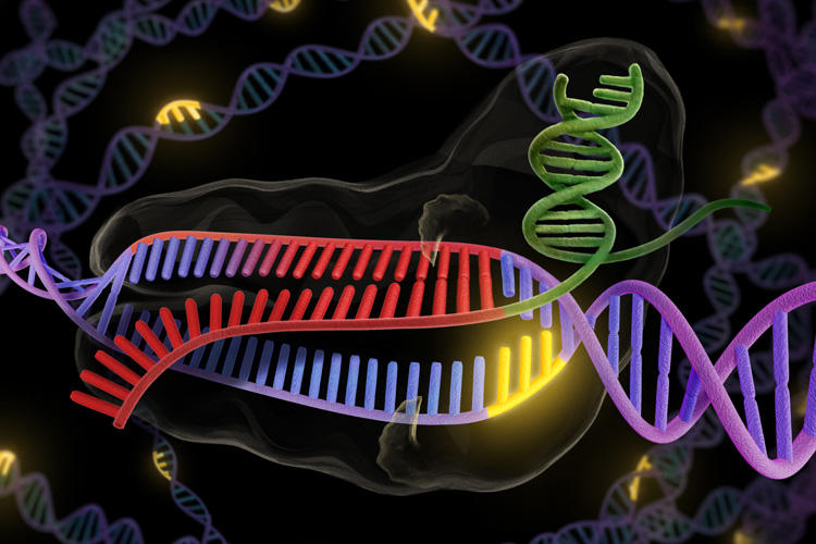 The bacterial enzyme Cas9 is the engine of RNA-programmed genome engineering in human cells. (UC Berkeley graphic by K. C. Roeyer)