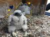 peregrin falcon chicks