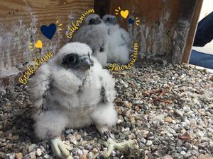 peregrin falcon chicks