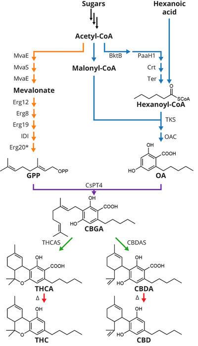 cannabinoid pathway